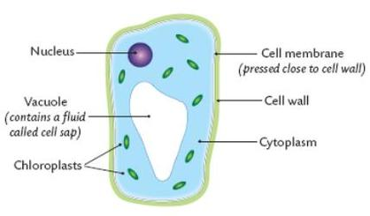 Year 7 biology learn science plant cells contain the same three main parts as an animal cell but also have three morea cell wall helps to keep the cell supported and is made of ccuart
